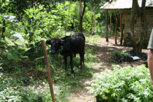 A cow in a pepinye (nursery) shaded by trees planted by CODEP members